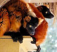 Orange Lemur by mrfriendly