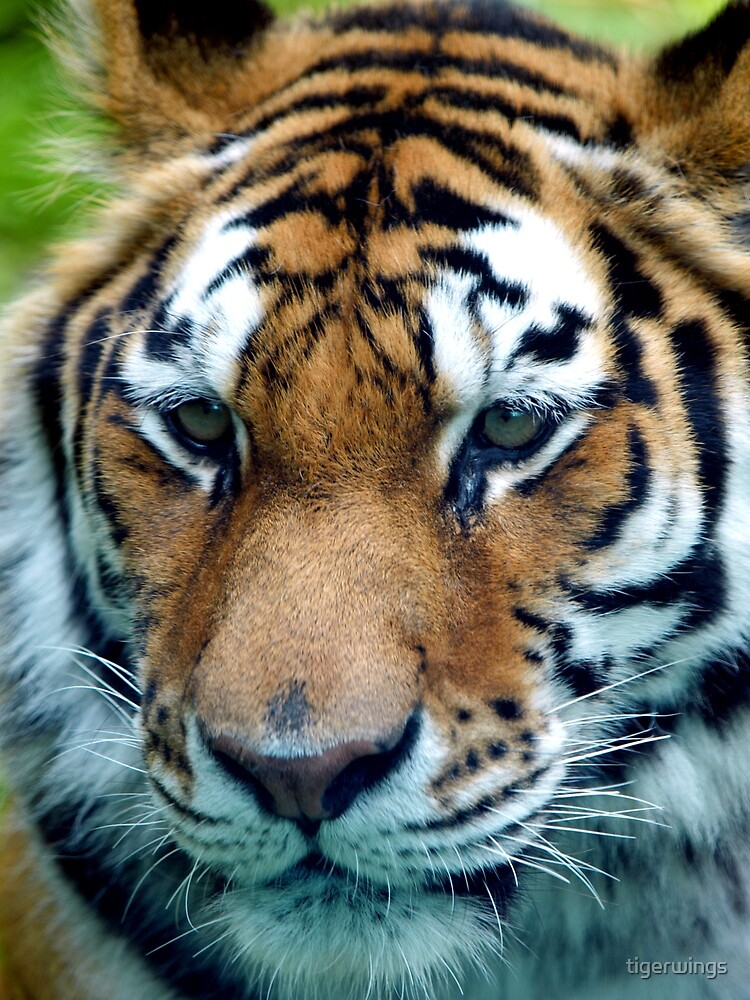 Tiger Expression by tigerwings