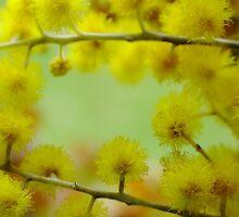 Australian Wattle by Gabrielle  Lees