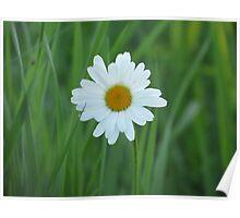 Daisy - British Columbia Canada Poster