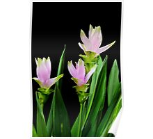 Curcuma flowers on black background Poster