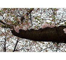 Cherry Summer Photographic Print