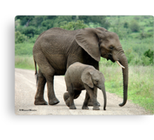 SIDE BY SIDE - THE AFRICAN ELEPHANT – Loxodonta Africana - Afrika Olifant Canvas Print