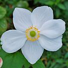 Japanese Anemone by Penny Smith