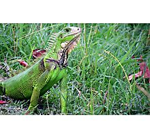 Iguana Love ~ Photographic Print