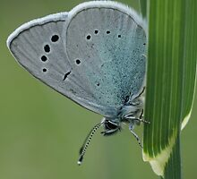 Holly Blue  by marens