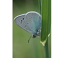 Holly Blue  Photographic Print
