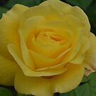 Yellow Rose of Sunbury by mike  jordan.