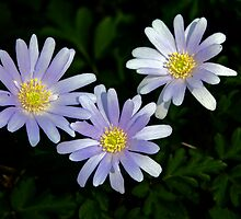 Windflowers by cclaude