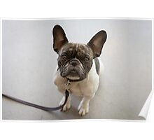 The Patient Boston Terrier Poster
