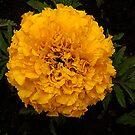 Yellow Marigold by Forfarlass