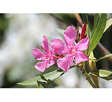 Pink Oleander Photographic Print