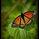 Viceroy, A Little Short-Handed by Victoria Jostes