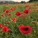 Poppy Field by Stuart  Gennery