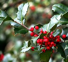 Holly Berries by AngieDavies