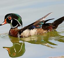 Reflections of a wood duck ! by jozi1