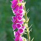 Radiant foxglove by Rainydayphotos