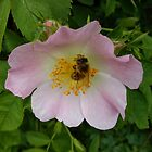 Rose Hip Blossom & Honey Bee [2] by Louise Parton