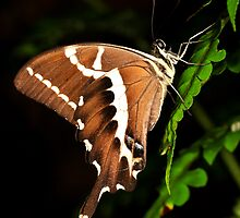 Unknown Butterfly -   night time perch  –  Andasibe - Madagascar by john  Lenagan