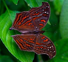 Unknown Butterfly  -   Andasibe - Madagascar by john  Lenagan