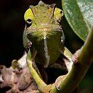 African  Chameleon - Furcifer Lateralalis Sp 2 -  Lake Manyara -  Tanzania by john  Lenagan