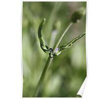 Published Lavender Poster