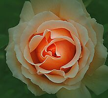 Memory of a Rose by Christine Lake