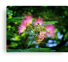 Mimosa Blooms Canvas Print