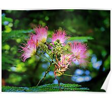 Mimosa Blooms Poster