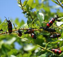 A Swarm of Red and Black Blister Beetles on Honeysuckle. by taiche