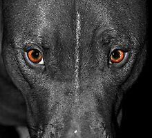 Black and White Pitbull with Deep Orange Eyes by ibadishi