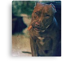 Pitbull Dog with a Cigar in his Mouth Canvas Print