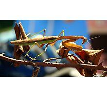 Praying Mantis on a Stick Photographic Print