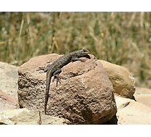 Eastern Fence Lizard, Sceloporus undulatus Photographic Print