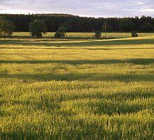 Fields of Barley by Adamdabs