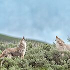 Coyote chorus by Owed to Nature