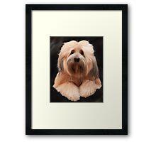 Tibetan Terrier Framed Print