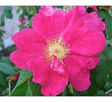 Governor General's Rose  Photographic Print