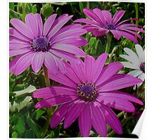 Purple And Pink Tropical Daisy Flower Poster