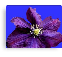 Purple Clematis Blossom - Blue Background Canvas Print