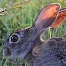 A Scrub Hare in daylight! by jozi1
