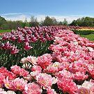 The Tulip Season by Irina777
