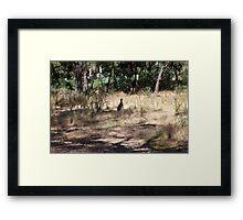 Kangaroos at Hanging Rock, Central Victoria, Australia Framed Print