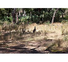 Kangaroos at Hanging Rock, Central Victoria, Australia Photographic Print