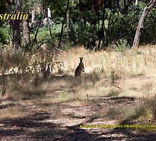 Kangaroos - Hanging Rock, Victoria by SNPenfold