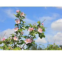 Wild Roses in June Photographic Print