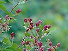 Blackberries by Susan S. Kline
