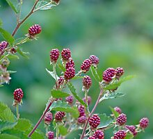 Blackberries by Susan S. Kline
