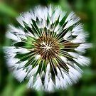 Dandelion  by Sheri Nye