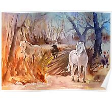 France - White Horses and Bull in The Camargue Poster